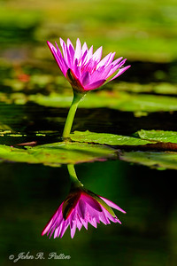 Water lily. XIV