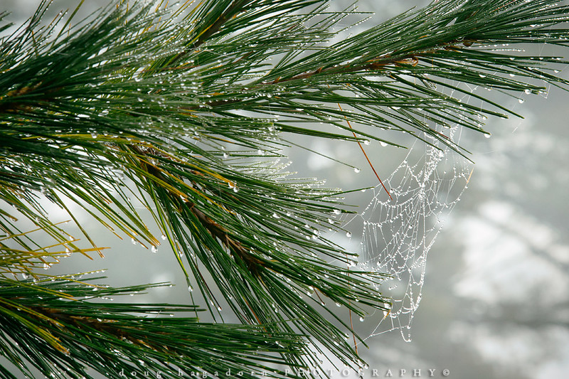Evergreen Dew