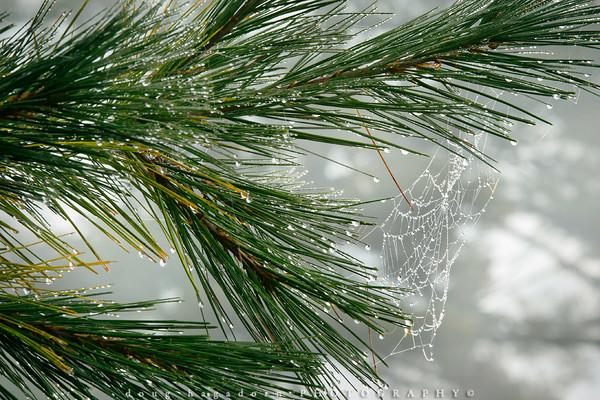 Evergreen Dew