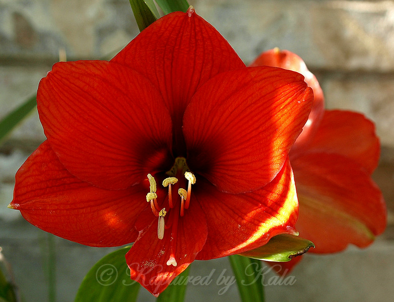 My Solid Red Amaryllis