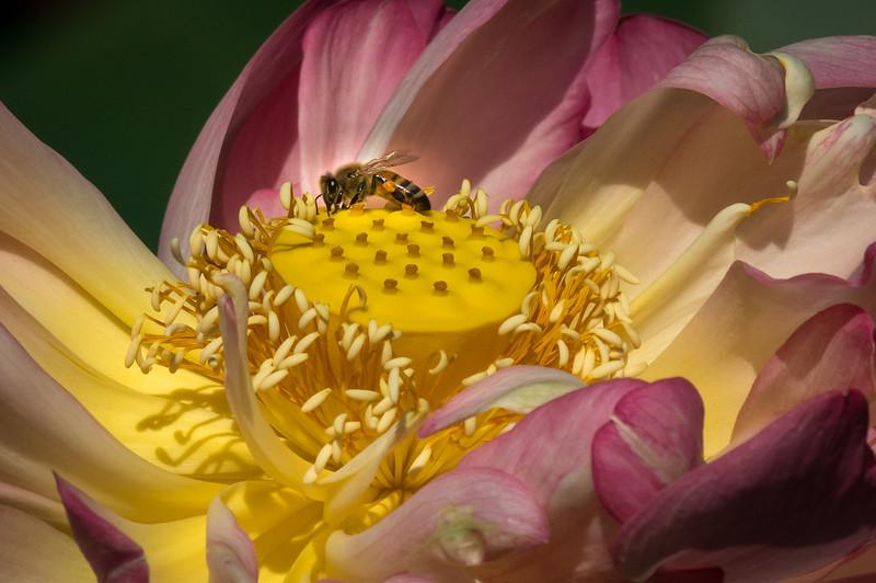 Bee on Lotus 4530