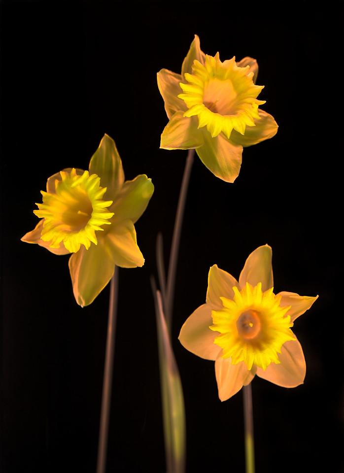 Daffodil, Study #11
