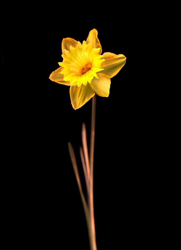 Daffodil, Study #5