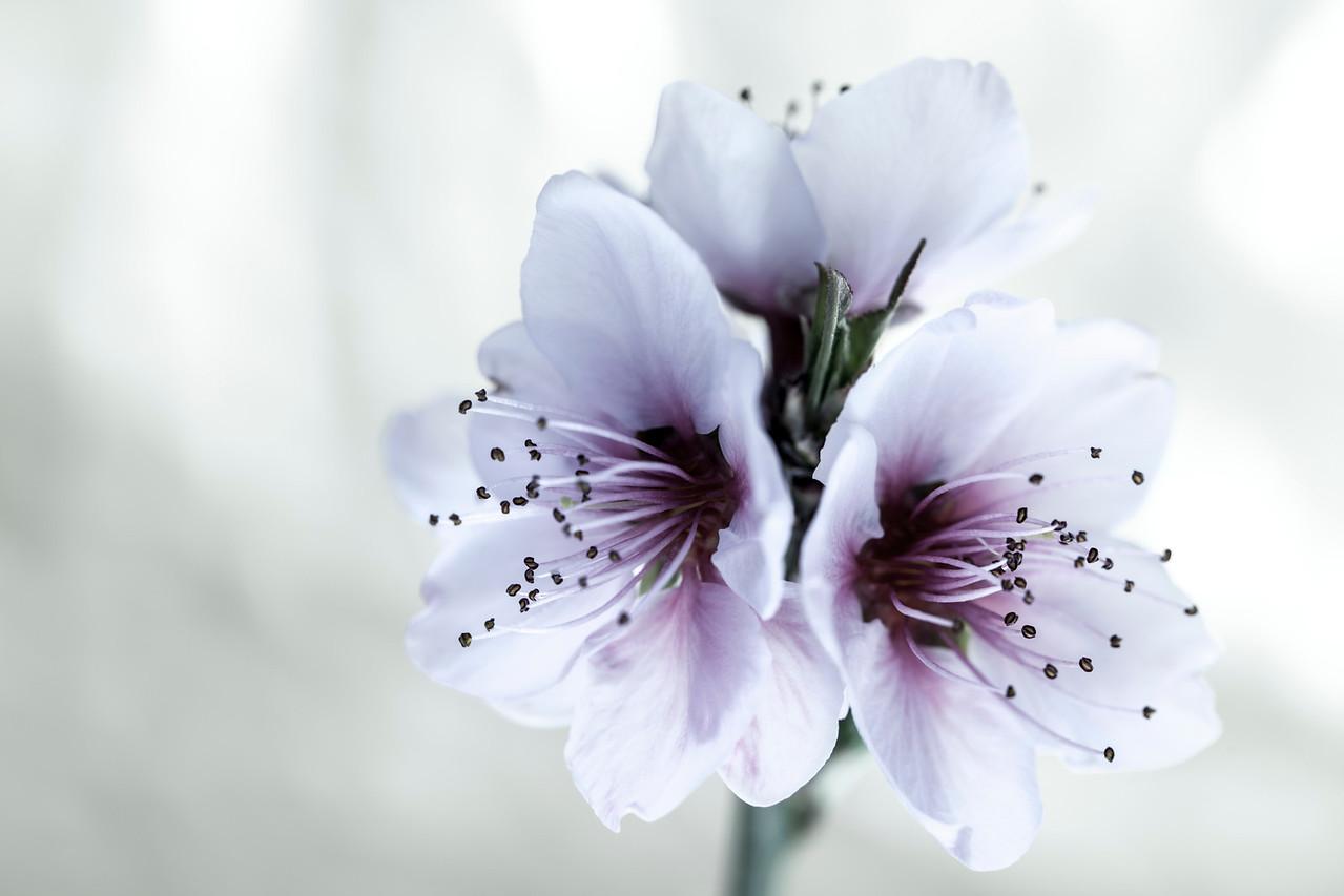White Almond Flowers