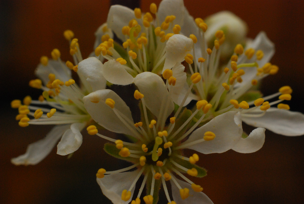 This is a macro look at Plum Blossoms.