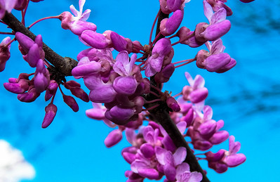 pink dogwood-0869