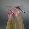 Tulip Flower and Dragonfly Picture