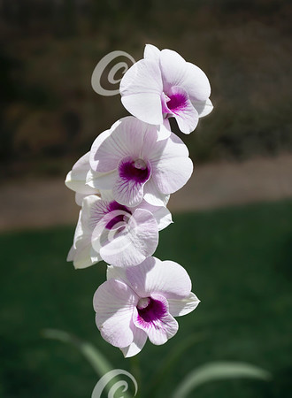 Stalk of White and Purple Phalaenopsis Orchid Flowers Outdoors in a Shady Garden