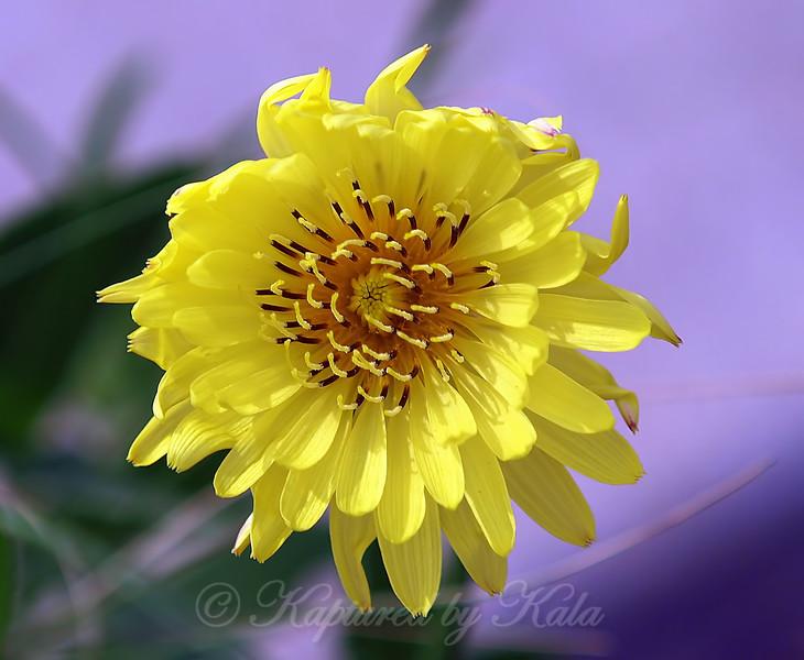 Desert-Chicory