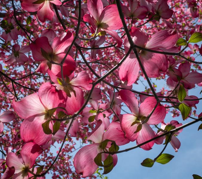 Pink Dogwood 2