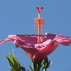 Hibicus Flower framed by the sky.