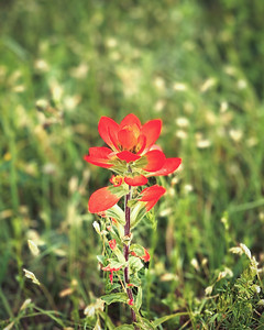 Backyard Indian Paintbrush Favorite