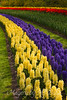 Bands of hyacinths