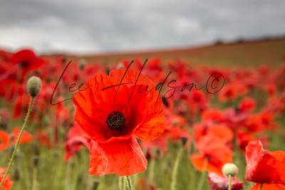 Poppy flowers (Papaver rhoeas)