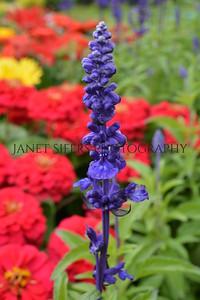 Salvia standing tall