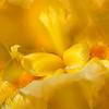 elegant iris ...