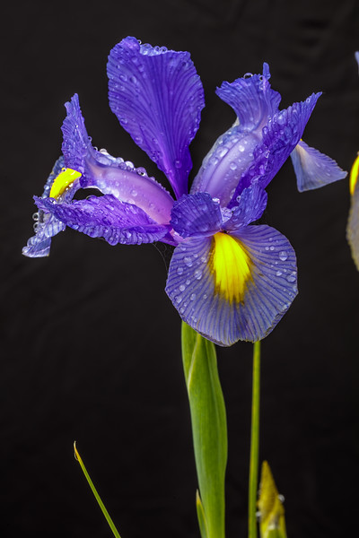 Iris with Water Droplets