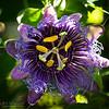 Passion Flower Surprise