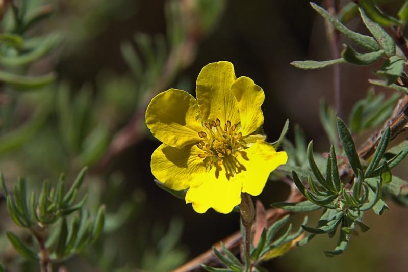 Rosaceae -  Dasiphora fruticosa - Shrubby Cinquefoil