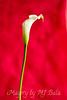 Creamy Calla Lily  Portrait