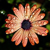 Orange Daisy with Raindrops
