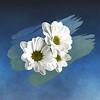 dazzlin' daisies ...