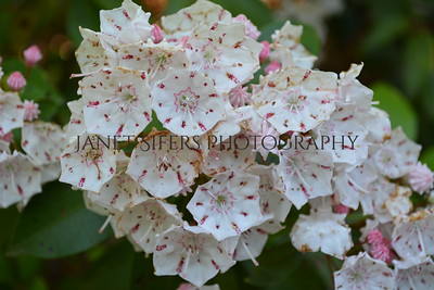 Mountain laurel at the Riverhouse