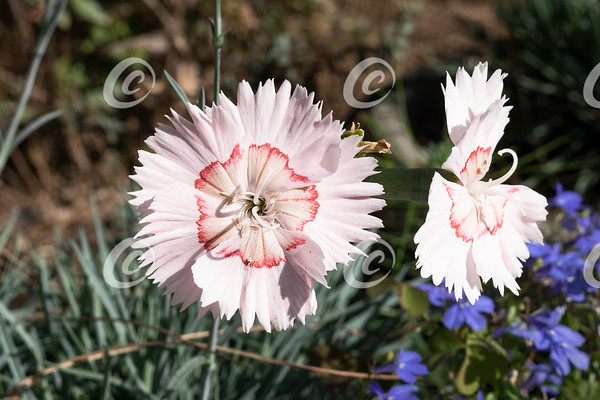 Pale Pink Dianthus Flowers with Jagged Red Markings