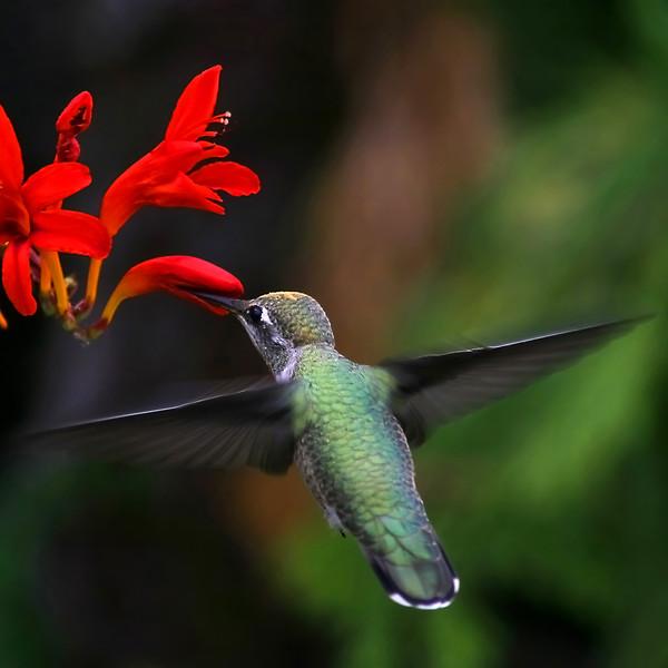16x16 hummingbird copy ( For canvas )