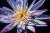 Purple Water Lily. Photo taken in April, 2012. Naples Botanical Gardens. Naples Florida.