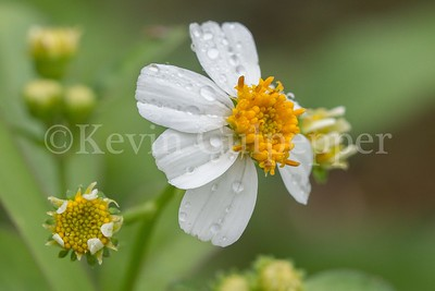 Wild Flower after the rain