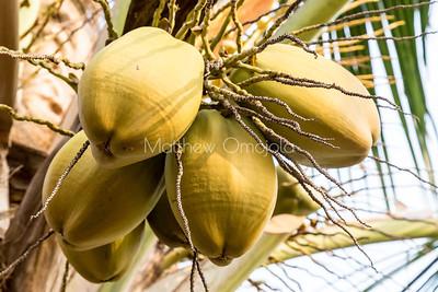 Coconut fruit on the tree. Lekki Lagos Nigeria