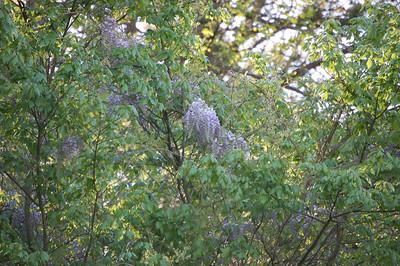 'Wisteria Tree'