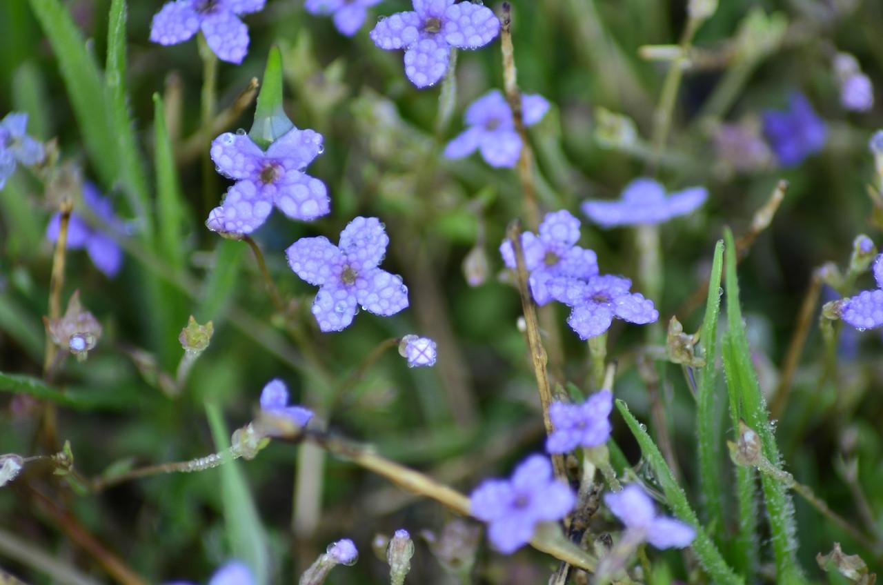 Rubiaceae -  Houstonia caerulea - Bluets Dew covered Bluets
