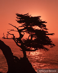 Cypress tree on the Pacific coast in Monterey California