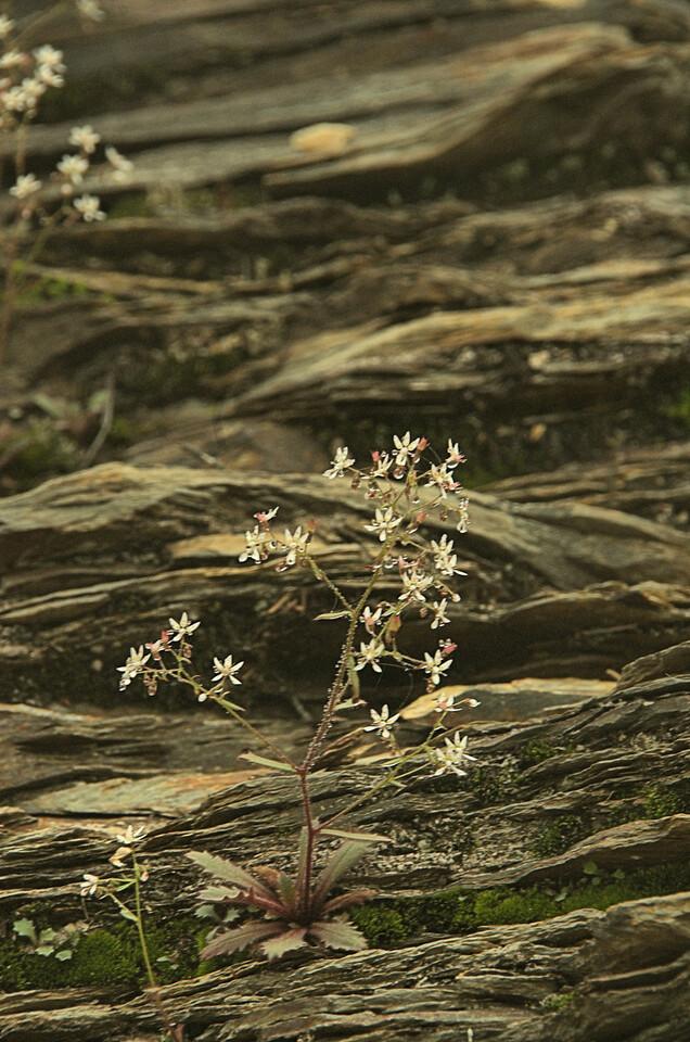 Saxifragaceae -  Saxifraga michauxii - Michaux's Saxifrage