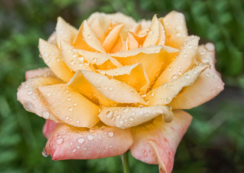 Rose with dew