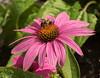 Pollen gatherer