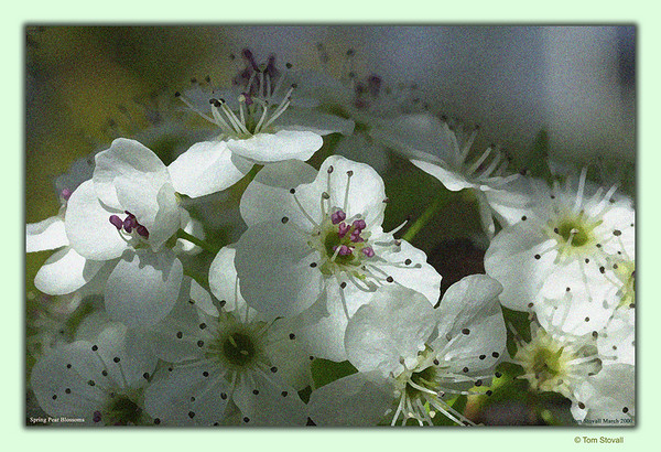 "Pear Blossoms in my Front Yard, my favorite all time ""Flower"" Picture."