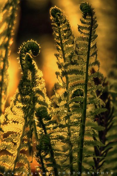 Ferns (#0008)