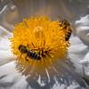 Matilija Poppy & Bees 9579