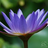 Water Lilly Picture