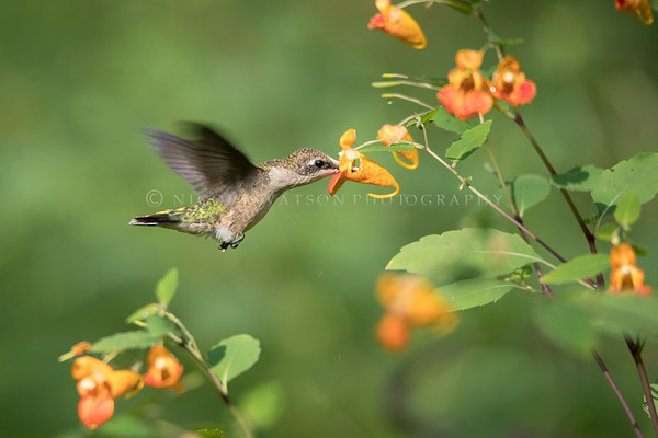 Red Throated Hummingbird feeding on Jewelweed