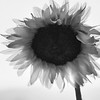 Black and White Sunflower