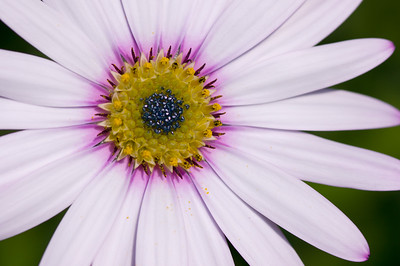 White osteospermum flower