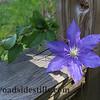 130 Clematis Flower