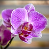 Purple orchid 01