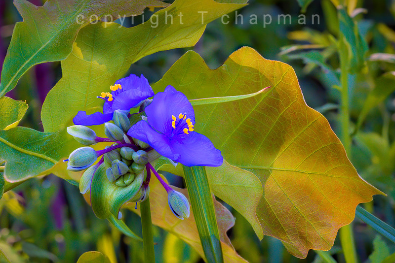 Spiderwort By the Lake