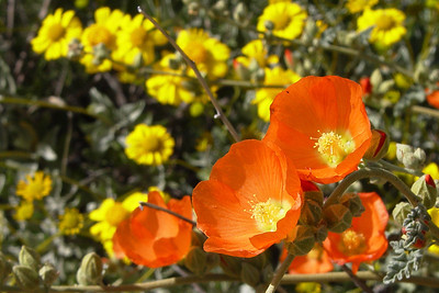 Globemallow and Brittlebrush, Tortilla Flat, AZ