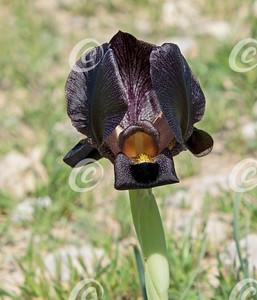 Wild Black Iris